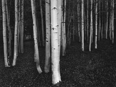 Bruce  Barnbaum - Aspens at Dusk_ Conway Summit