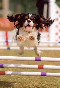 King Charles Puppy, Cavalier King Charles Dog, King Charles Spaniels, Spaniel Puppies, Cocker Spaniel, Pancreatitis In Dogs, Animals And Pets, Cute Animals, Funny Animals