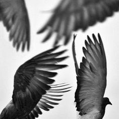Magpie, crow wannabe