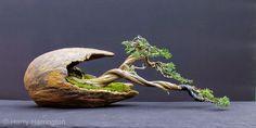 Sabina Juniper Bonsai - DIY Fairy Gardens