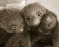 Original fine art photographic print (photograph) of baby sloths snuggling, taken on location at the Aviarios Sloth Sanctuary in Costa Rica by Suzi Eszterhas
