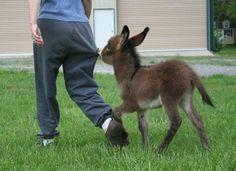 Por si los burros normales no fueran súper lindos, ahora nos enteramos que tienen versiones en miniatura de si mismo, que si cabe, todavía son más adorables.  Los mini burros o burros miniatura no son crías de burro, ni burros bebé, ellos son una raza de burros originaria del norte de Africa y las