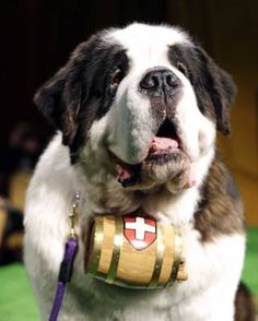 Aristocrat, a St. Bernard, is shown during a press conference to announce the 137th Annual Westminster Kennel Club dog show.      Frank Franklin II - AP Images
