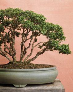 Kingsville Boxwood Bonsai