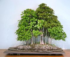 Google Image Result for http://www.bonsai-nbf.org/site/images/refl_of_nature/Exhibit%25201/forest2.jpg