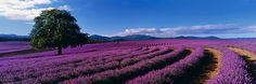 This Peter Lik photograph is a limited edition print and is no longer available in this size print. Print is number Photograph is autographed by the photographer himself Peter Lik. Peter Lik Photography, Fine Art Photography, Landscape Photography, Provence, Artwork For Home, The Weather Channel, Lavender Fields, Lavander, France
