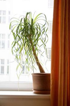The Ponytail Palm or Beaucarnea Recurvata is an elegant, curious and beautiful houseplant. Our Ponytail Palm information and care guide provides all the requirements to keep yours alive. House Plants Decor, Plant Decor, Garden Plants, Pot Plants, Indoor Trees, Indoor Plants, Echeveria, Ponytail Palm Care, Cheap Plants
