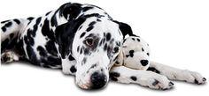 Embarazo psicológico (pseudopreñez) en perras - Mascotas 24/7