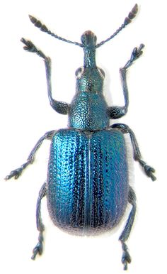 "Involvulus pilosus Roel    46-47'49""N 143-17'14""E on Sorbus  29.VII.2003 sambucifolia     Body length 5.0 mm"