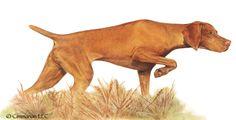 Cimmaron Dog Art creates art work, t shirts, and decals for all breeds of dogs including corgis,irish setters and vizslas. Dog Illustration, Illustrations, All Breeds Of Dogs, Irish Setter, Dogs Golden Retriever, Vizsla, Dog Art, Animal Drawings, Pet Portraits