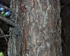 Trees Planet: Cupressocyparis leylandii - Leyland Cypress Leylandii Hedge, Monterey Cypress, Vascular Plant, Evergreen Trees, Ornamental Plants, Planting Seeds, Hedges, Gardens, Outdoor Gardens