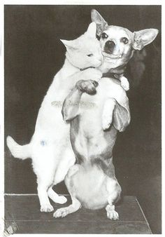 Photo from 1946. Lee the cat hugging Frisco the chihuahua... Frisco doesn't look amused...