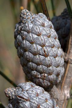 Casuarina cones