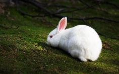 animals | White Rabbit wallpapers and images - download wallpapers, pictures ...