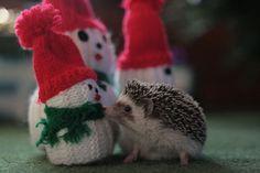 hedgehog christmas on imgfave Happy Hedgehog, Cute Hedgehog, When Do Hedgehogs Hibernate, Hedgehog Habitat, Pygmy Hedgehog, Warm Fuzzies, Animal Facts, Just Smile, Holiday Fun
