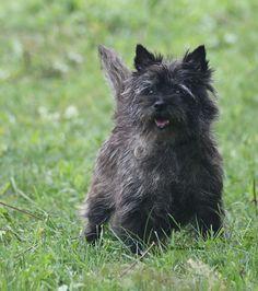 cairn terrier -