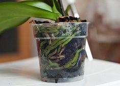 Глядя на цветущую орхидею, многие цветоводы даже не задумываются, покупать это необыкновенное растение или нет. Конечно, покупать! Вот только будет ли оно так же хорошо цвести и дома?