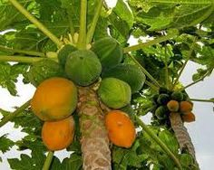 Papaya is a fruit which gives vitamin A