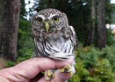 Tamaulipas Pygmy Owl//According to body length, the Tamaulipas pygmy owl is the smallest owl species and are found in North America. They measure 13.5 cm and weigh only 1.9 ounces.