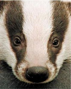 My sister will understand how a picture of a badger can be funny.    Totally laughing (but my car isn't).