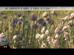 Dal lavandeto di Assisi le piante officinali