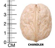 Chandler açık köklü ceviz fidanı, yüksek verim vermesi sebebiyle çok tercih edilen bir ceviz fidanı çeşididir. Düşük rakımlı bölgelerde iyi verim alınır.