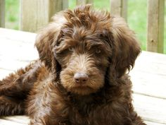 "Chocolate Labradoodle, are all ""doodles"" hypoallergenic, non shredders? So precious!"