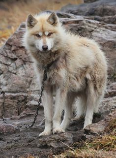 (331) Х Greenland Dog (Gronlandshund, Esquimaux Dog, Greenland Husky) в Pinterest
