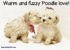WARM AND FUZZY POODLE LOVE!!!