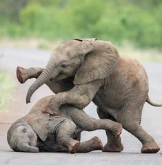 Baby elephants engage in a bit of rough play at Kruger national park, South Africa, photograph by Inez Allin-Widow. Cute Baby Elephant, Cute Baby Animals, Funny Animals, Wild Animals, Giant Animals, Nature Animals, Baby Elefant, Indian Elephant, Kruger National Park