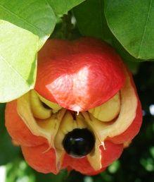 Ackee.  Ackees. Jamaica national dish.   Jamaican food.  Jamaica. Food.  Jamaican fruit.