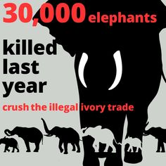 NEVER buy ivory. And gently speak up to educate anyone you see possessing it. Even before the trade was banned it was, in my opinion, an obscene act to kill an elephant for human vanity's sake. Ivory Trade, Save Wildlife, Elephant Love, Elephant Facts, Elephant Walk, Trophy Hunting, Save The Elephants, Network For Good, Gentle Giant