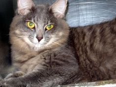 Petango.com – Meet Jenny, a 1 year 6 months Domestic Longhair / Mix available for adoption in TAMPA, FL