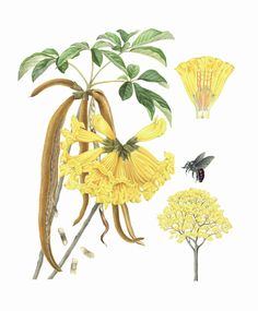 ipe-amarelo-ilustracao-hiroe-sasaki-b3.jpg (3000×3624)