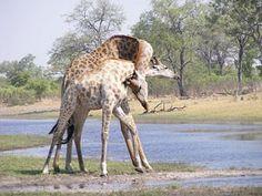 """Giraffes """"necking"""" at DumaTau"""