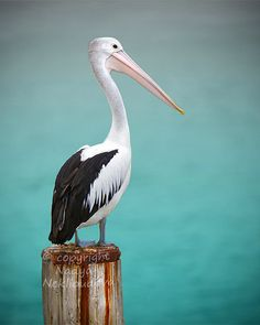 Pelican photo print - 8x10 inches (20x25cm) - Fine Art nautical decor bird photography wall art ocean sea green via Etsy