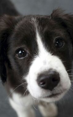 Oh what a sweet baby! I love Border Collies! Puppies And Kitties, Cute Puppies, Pet Dogs, Dog Cat, Doggies, Border Collie Puppies, Collie Dog, Border Collies, Animals And Pets