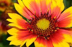Resultado de imagen de flor gallardia