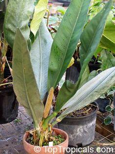 Anthurium coriaceum, Pothos coriacea Family: Araceae Paddle-leaf Anthurium