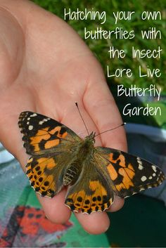 Discover the fantastic Insect Lore Live Butterfly Garden - a brilliant nature project to do with the kids.