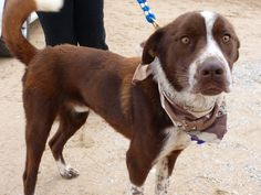 Barnaby and adorable 2 year old lab/spaniel mix is ready for a foster or forever home! www.labradorsandfriends.org