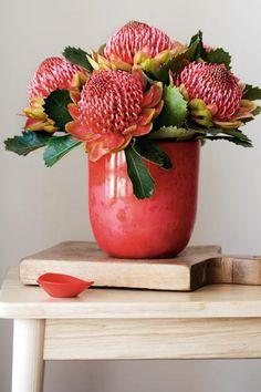 How to grow waratahs Australian Wildflowers, Australian Native Flowers, Australian Plants, Exotic Flowers, Beautiful Flowers, Waratah Flower, Australian Native Garden, Australian Garden Design, Aussie Christmas
