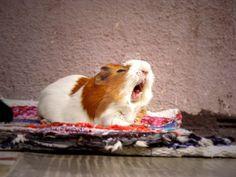 I love yawning guinea pigs - Sök på Google