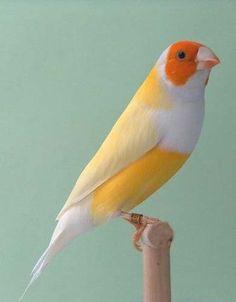 Yellow back, Orange Headed Lady Gouldian Finch, birds, wings, feather Pretty Birds, Beautiful Birds, Animals Beautiful, Cute Animals, Pretty Animals, Kinds Of Birds, All Birds, Love Birds, Exotic Birds