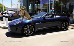So which is faster. The Cheetah or the Jaguar 2014 Jaguar F Type Test Drive