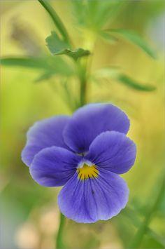 Lovely Violet Pansy