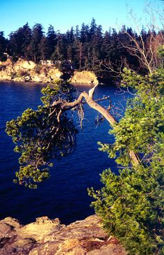 Film Photo Print Crooked Tree Hanging Over The Sea In Washington State Home Decor Fine Art