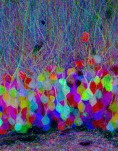 Brainbow ニューロンの写真 - HAPPY HACKING(ニュー速) - Yahoo!ブログ