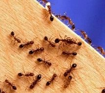 pour tuer les fourmis et Rid of Ants with cornmeal. Put small piles of cornmeal where you see ants. They eat it, take it 'home,' can't digest pour fourmis Limpieza Natural, Get Rid Of Ants, Rid Ants, Tips & Tricks, Rv Tips, Camping Ideas, Pest Control, Roach Control, Termite Control