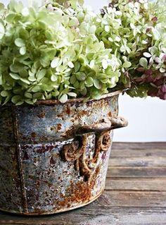 Hydrangeas in old rusty bucket